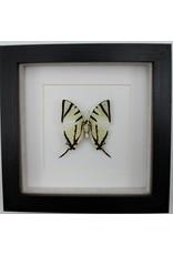 Nature Deco Graphium agetes bottom  in luxury 3D frame 17 x 17cm