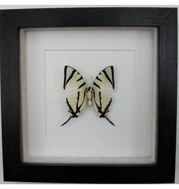 Nature Deco Graphium agetes onderkant in luxe 3D lijst
