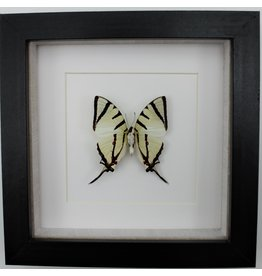 Nature Deco Graphium agetes underside in luxury 3D frame.