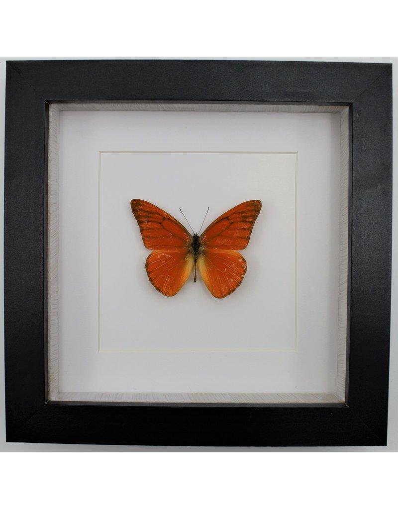 Nature Deco Appias Nero in luxury 3D frame 17 x 17cm