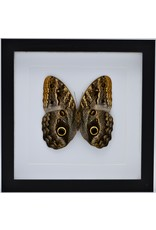 Nature Deco Caligo Telamonius (Owl eye butterfly) in luxury 3D frame 22 x 22 cm