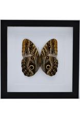 Nature Deco Caligo Telamonius (Uiloog vlinder) in luxe 3D lijst 22 x 22cm