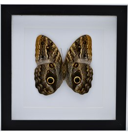 Nature Deco Caligo Telamonius (Owl eye buttefly) in luxury 3D frame