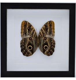 Nature Deco Caligo Telamonius (Uiloog vlinder) in luxe 3D lijst