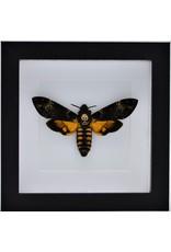 Nature Deco Acherontia atropos (doodshoofdvlinder) in luxe 3D lijst 17 x 17cm
