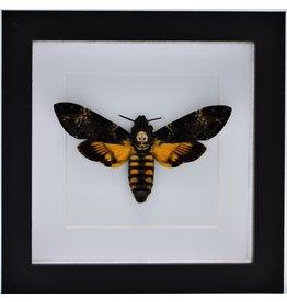 Nature Deco Acherontia atropos (doodshoofdvlinder)  in luxe 3D lijst