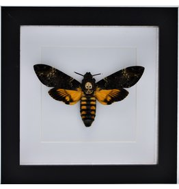 Nature Deco Acherontia atropos in (squirrel butterfly) luxury 3D frame