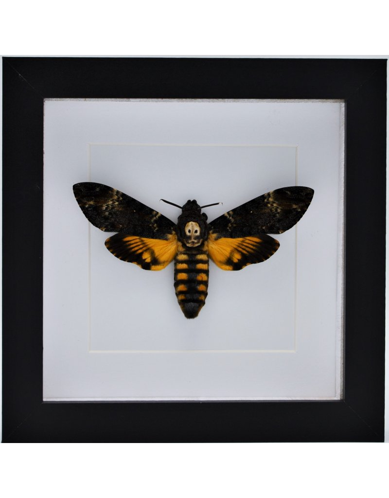 Nature Deco Acherontia atropos  ( squirrel butterfly) in luxury 3D frame 17 x 17cm