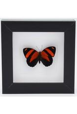 Nature Deco Callicore Cynosura upside in luxury 3D frame 12 x 12cm
