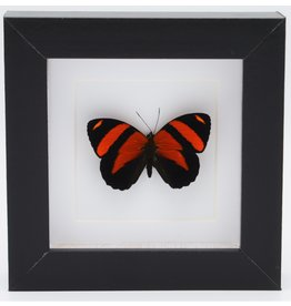 Nature Deco Callicore Cynosura upside in luxury 3D frame