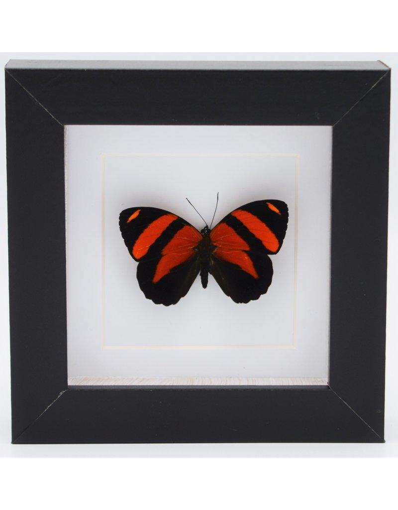 Nature Deco Callicore Cynosura bovenkant in luxe 3D lijst 12 x 12cm
