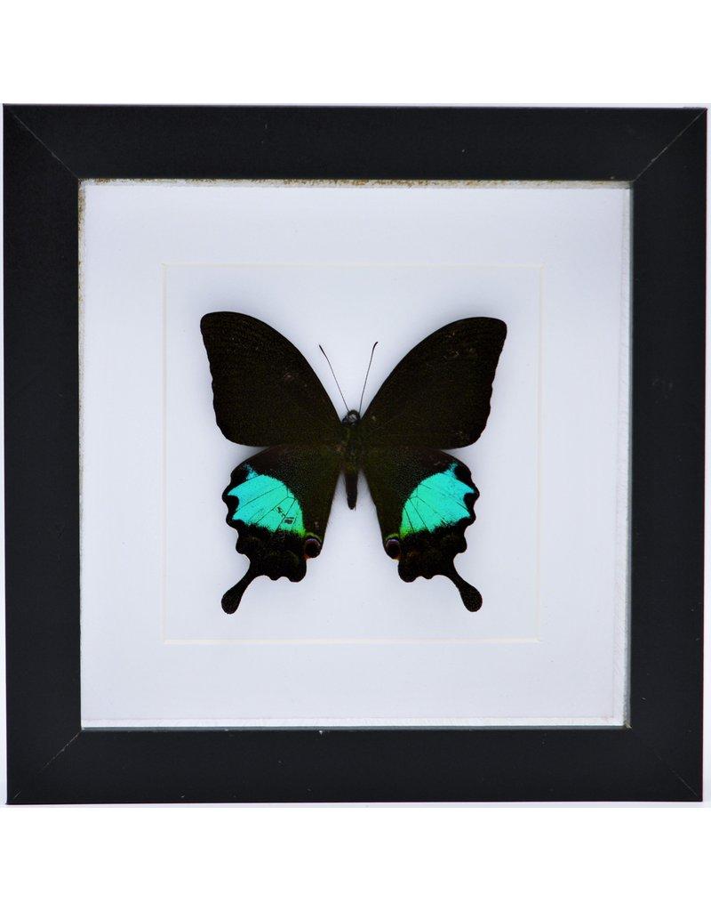 Nature Deco Papilo Paris Gedeensis in luxe 3D lijst 17 x17cm