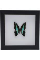 Nature Deco  Graphium Sarpedon in 3D lijst 17x17cm