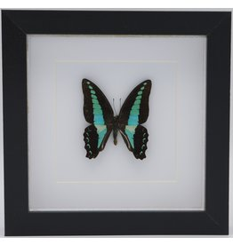 Nature Deco Graphium Sarpedon in 3D lijst
