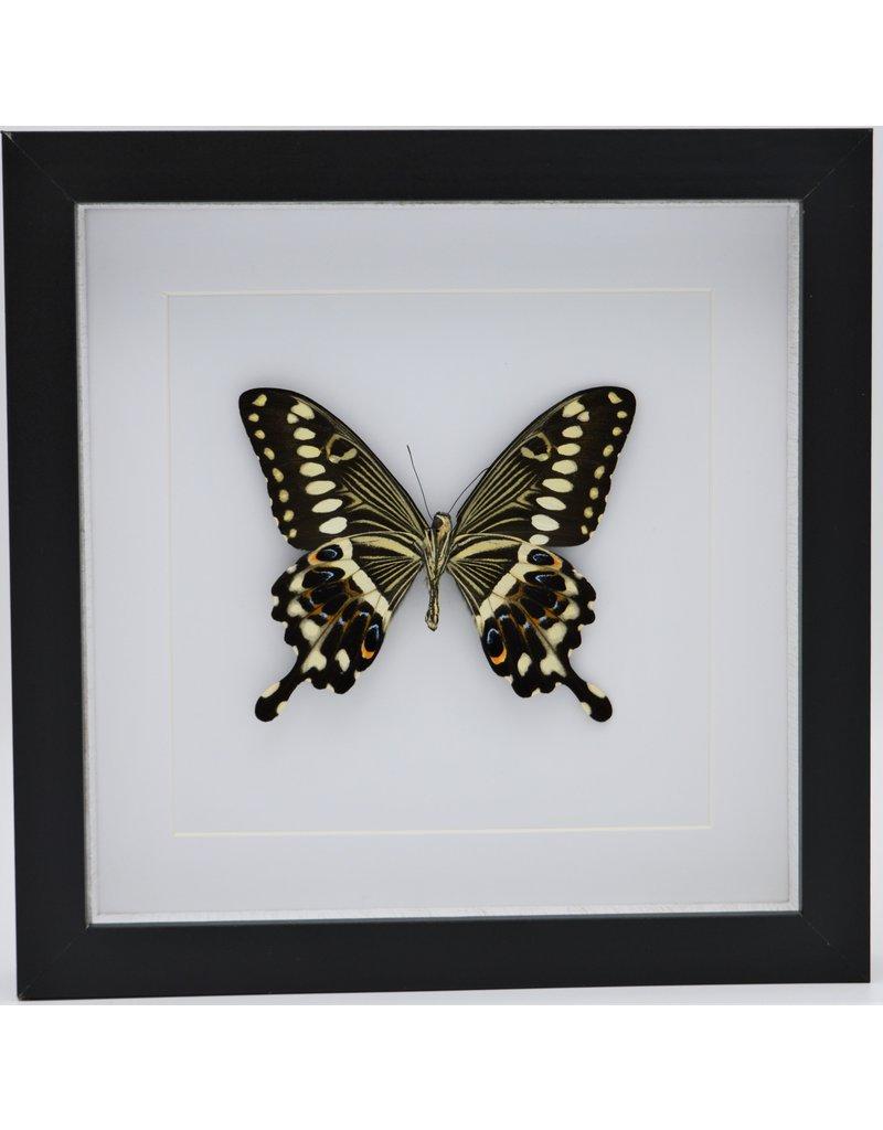 Nature Deco Papilio Lormieri in luxe 3D lijst 22 x 22cm