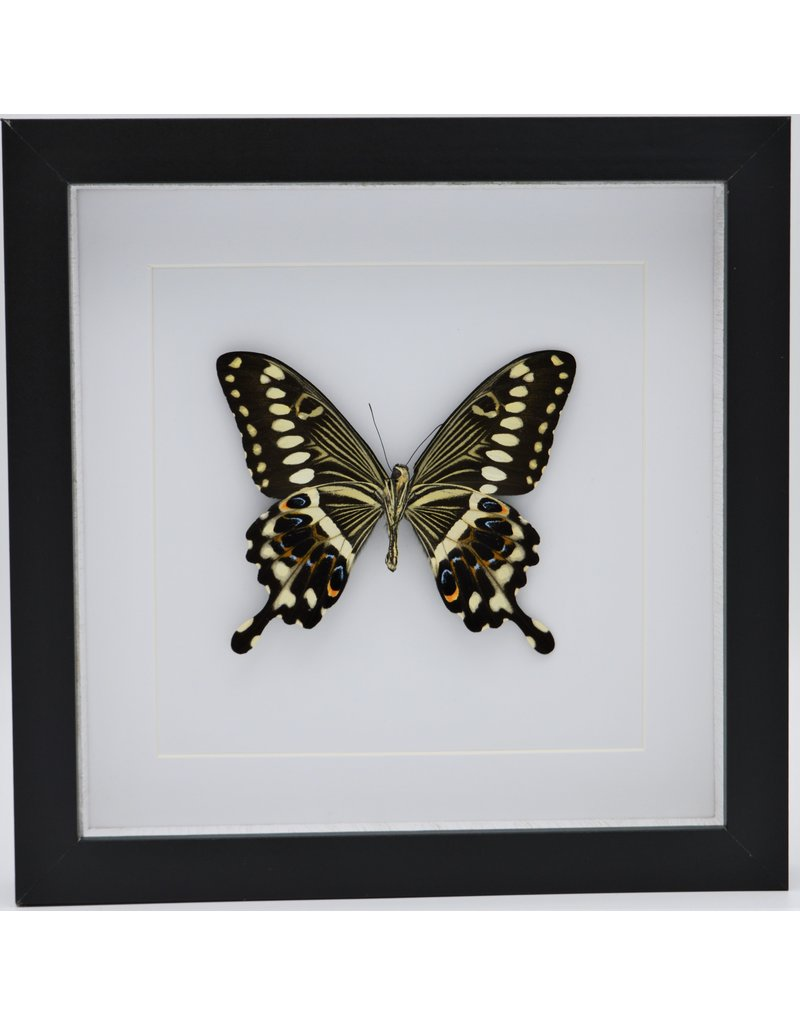 Nature Deco Papilio Lormieri in luxury 3D lijst 22 x 22cm