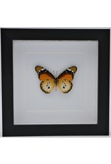 Nature Deco Danaus Chrysippus underside in luxury 3D frame 17 x 17cm