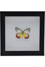 Nature Deco Delias Hyparete in luxe 3D lijst 17 x 17cm