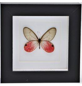 Nature Deco Cithaeria Aurorina in luxe 3D lijst