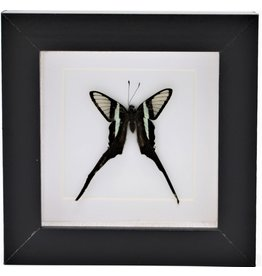 Nature Deco Lamproptera Curius in luxury 3D frame