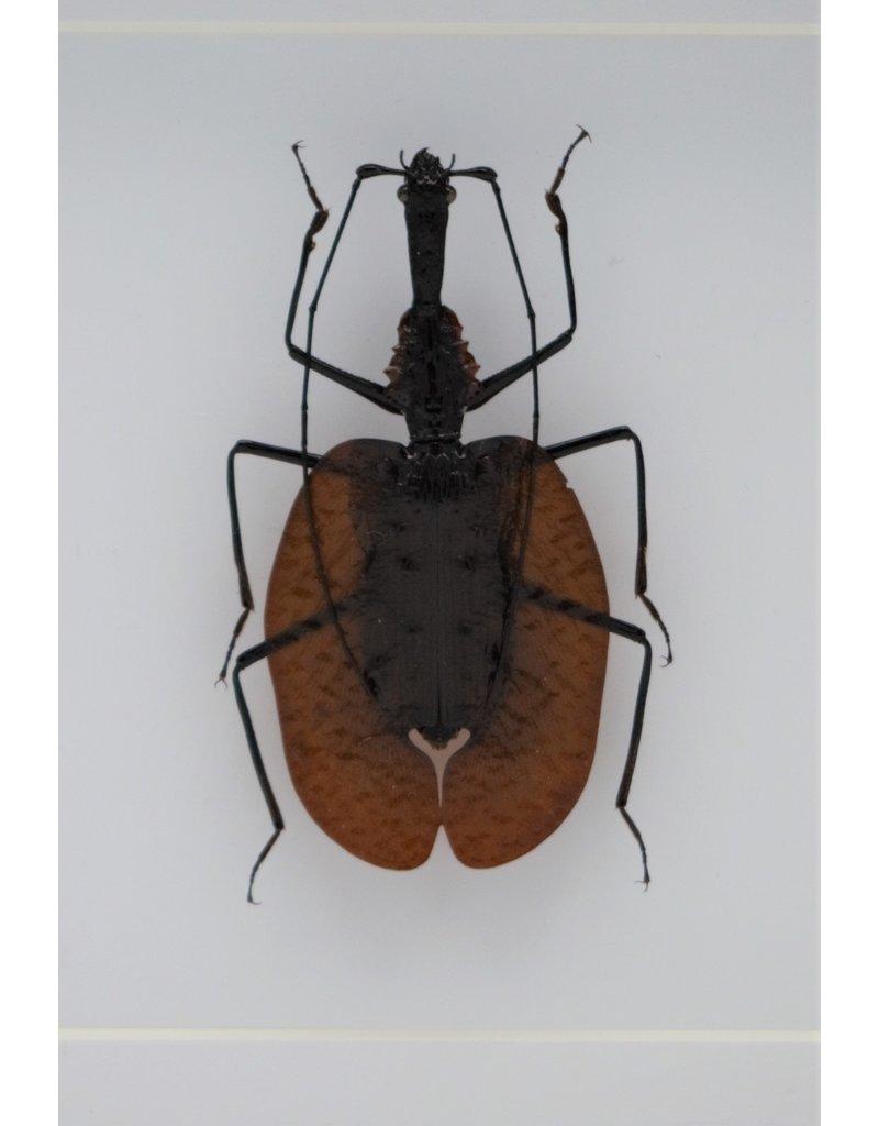 Nature Deco Violin beetle in luxury 3D frame 17 x 17cm