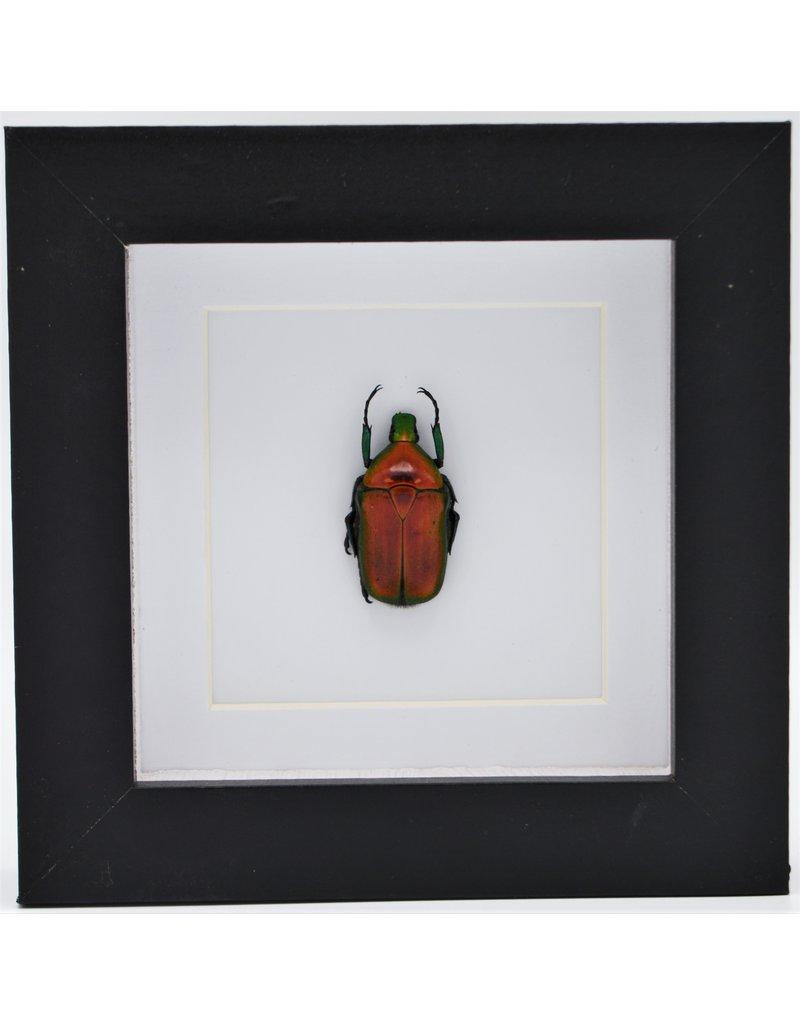 Nature Deco Rhomborrhina Flammea rood in luxe 3D lijst 12 x 12cm