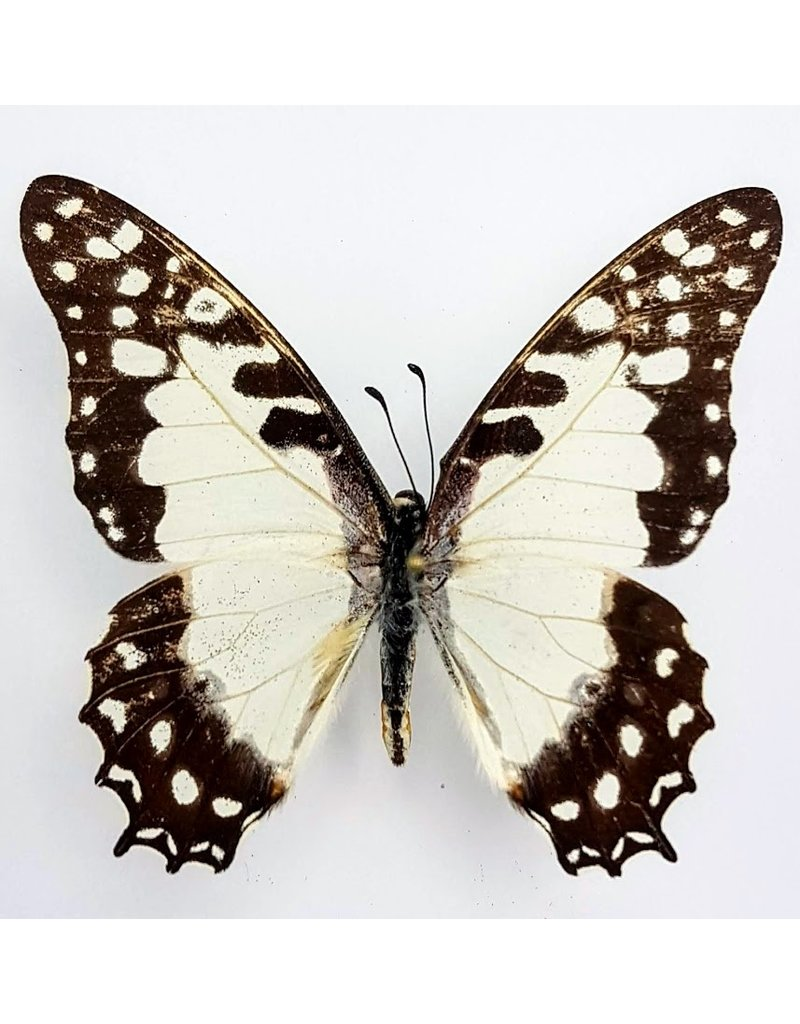 . Unmounted Graphium Angolanus