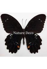 . Unmounted Papilio Gambrisius Colossus
