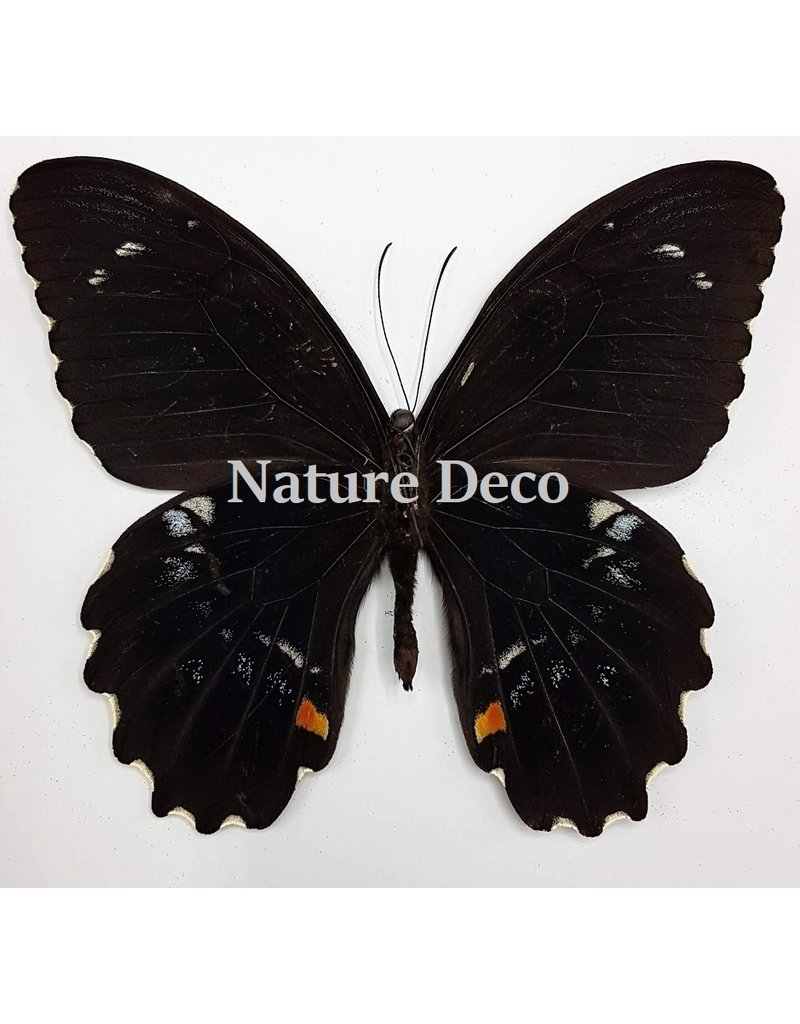 . Ongeprepareerde Papilio Gambrisius Colossus