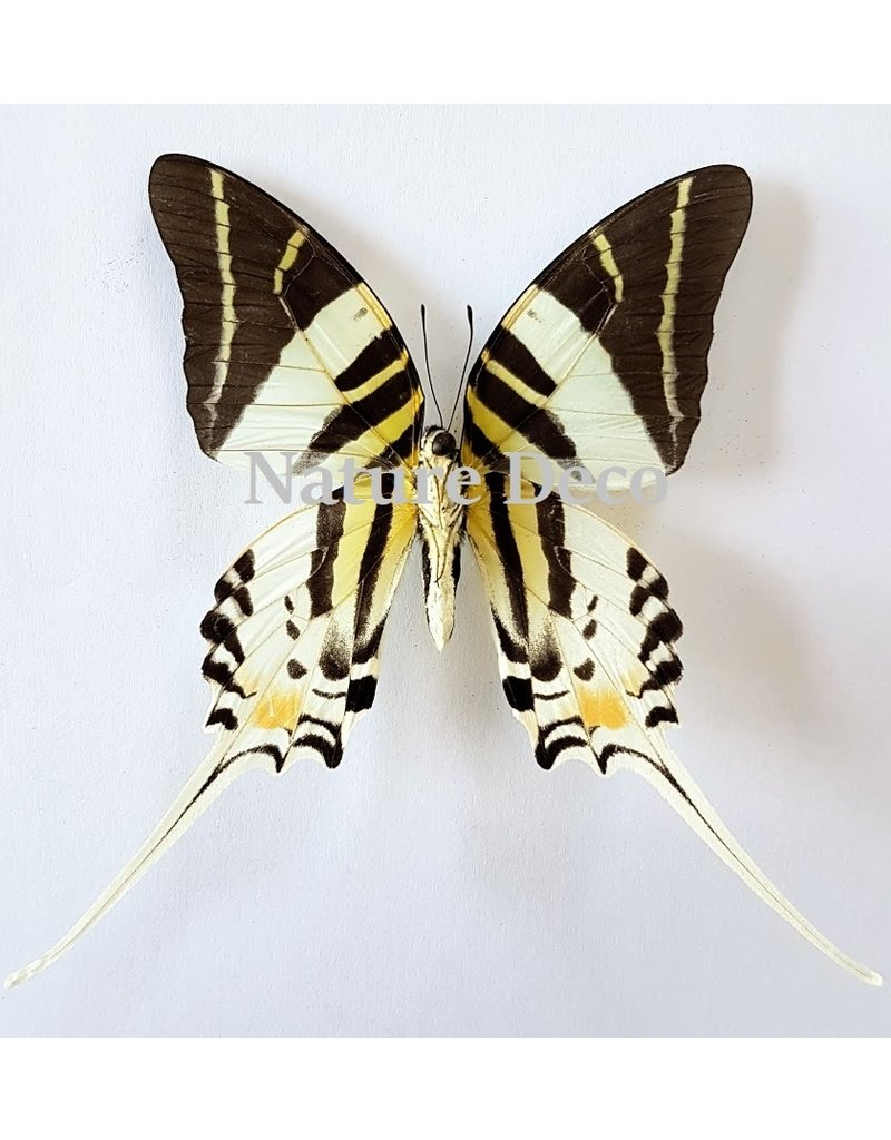 . Unmounted Graphium Androcles