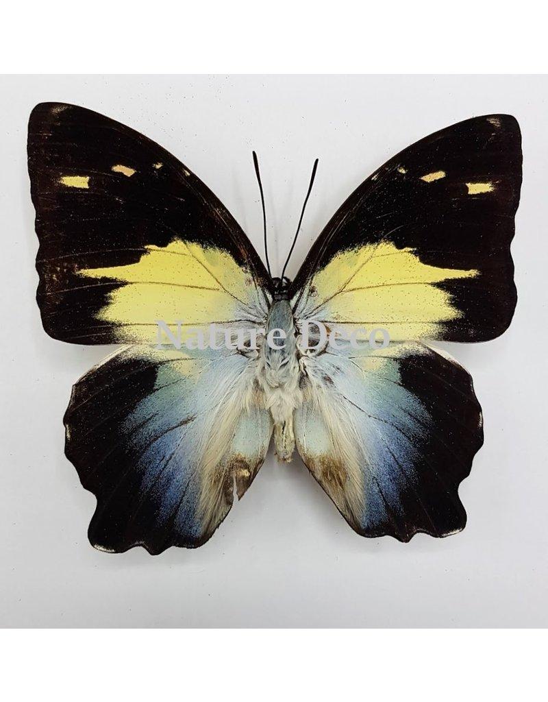 . Unmounted Agatasa Calydonia