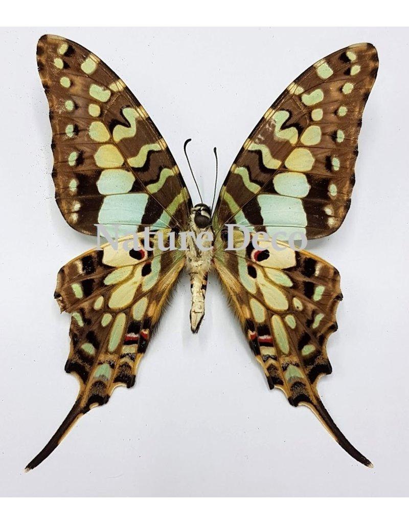 . Unmounted Graphium Antheus