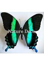 . Ongeprepareerde Papilio Blumei