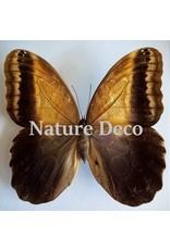 . Ongeprepareerde Caligo Telamonius (Uiloog vlinder)