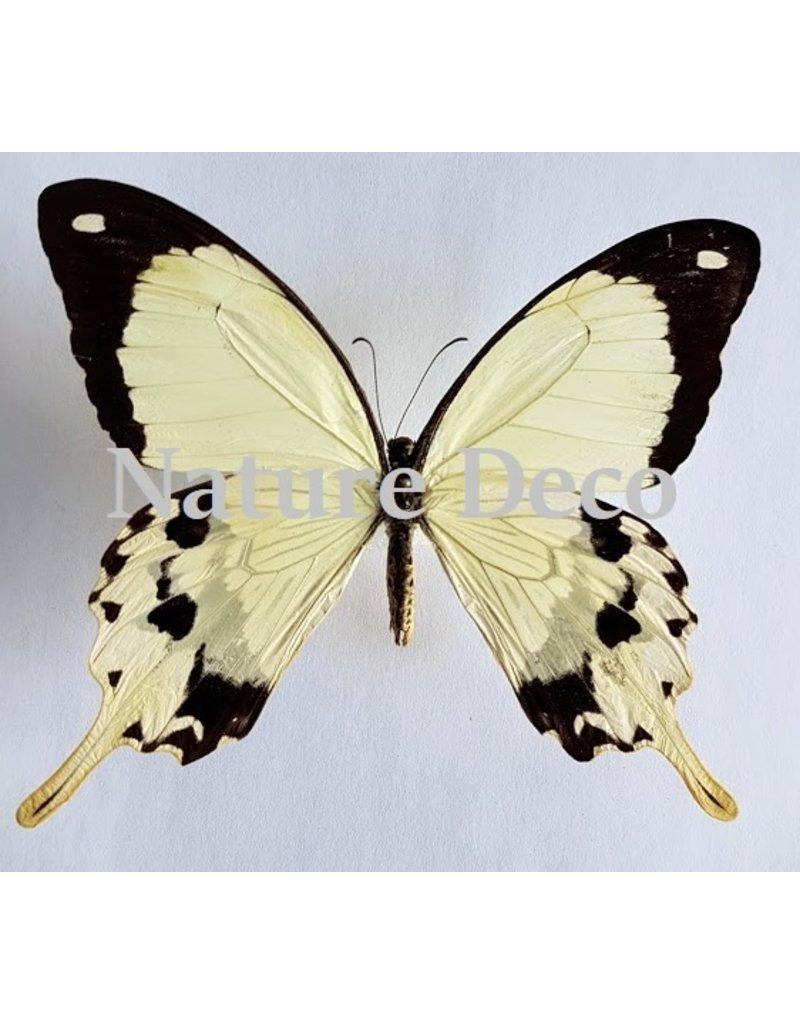 . Ongeprepareerde Papilio Dardanus