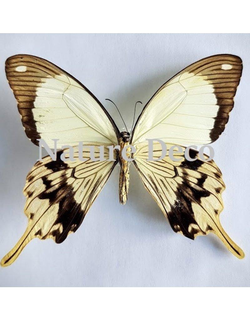 . Unmounted  Papilio Dardanus