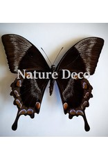 . Ongeprepareerde Papilio Ulysess