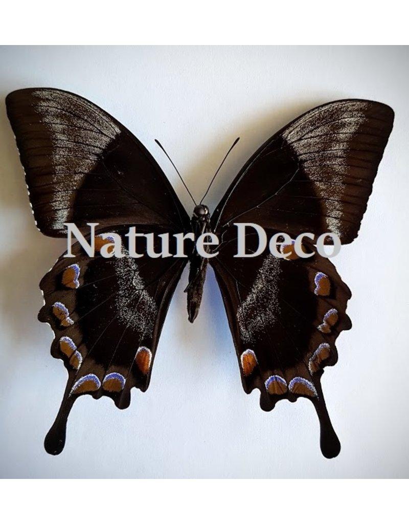 . Unmounted Papilio Ulysess