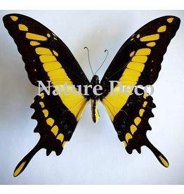 . Unmounted Papilio Thoas