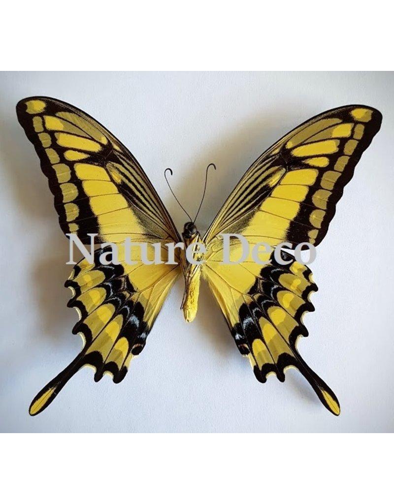 . Ongeprepareerde Papilio Thoas