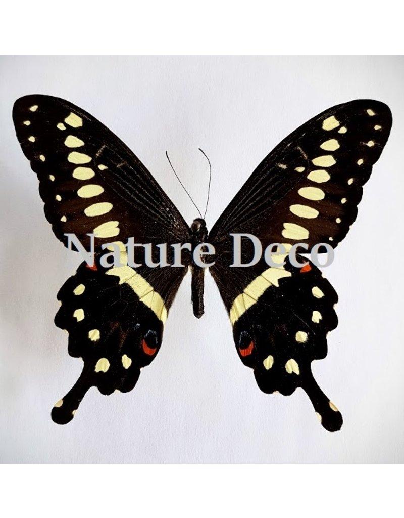 . Unmounted Papilio Lormieri