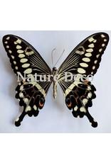 . Ongeprepareerde Papilio Lormieri