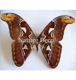 . Unmounted Attacus Atlas