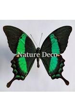 . Unmounted Papilio Daedalus