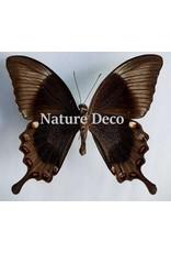. Ongeprepareerde Papilio Daedalus