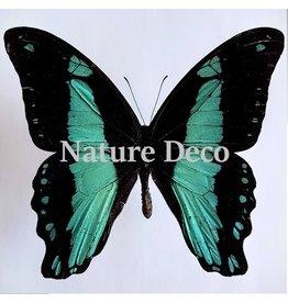 . Unmounted Papilio Bromius