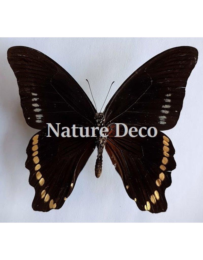 . Ongeprepareerde Papilio Bromius