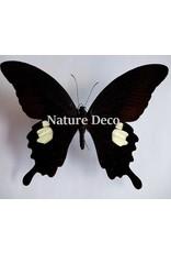 . Unmounted Papilio Helenus