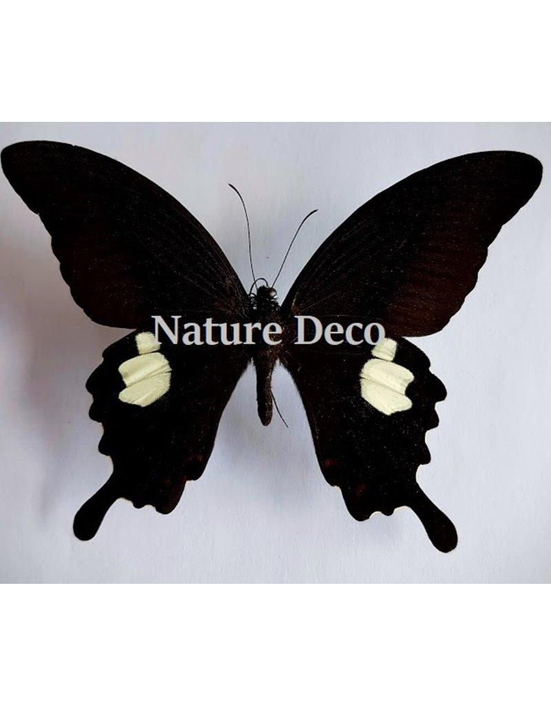 . Ongeprepareerde Papilio Helenus