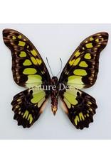 . Unmounted Graphium Tyndareus